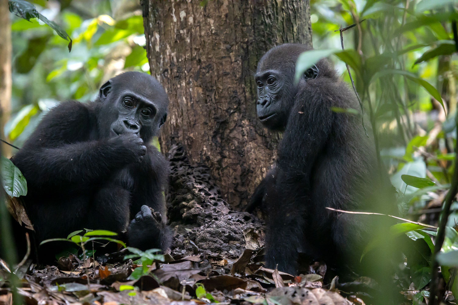 Gorillas in Dzanga-Sangha Protected Areas